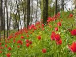 """Govone, domenica 29 marzo fioriscono i """"Tulipani a corte"""""""