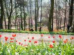 Tulipani a corte-7