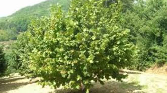 Coldiretti, accordo Regione Piemonte-Ferrero per la valorizzazione del nocciolo