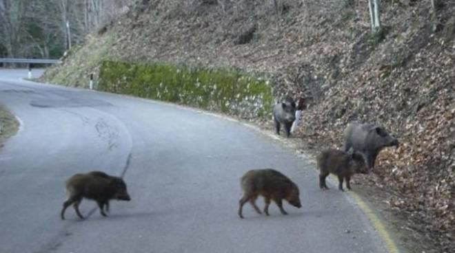 La provincia di Asti inverviene sui cinghiali avvistali alla Certosa
