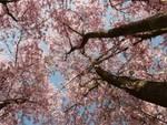 Scurzolengo in festa per gli alberi di ciliegio