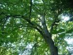"""Rocchetta Tanaro, il """"grande faggio"""" dichiarato albero monumentale"""