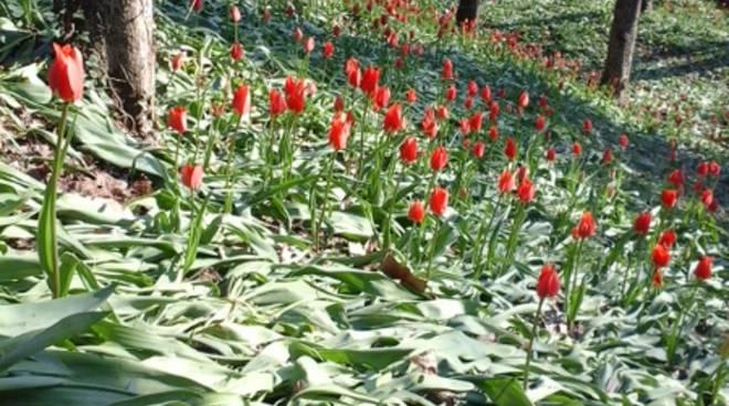 Tulipani a corte 2016 -32