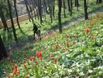 """""""Tulipani a corte"""" di Govone, grande successo di pubblico e di colori (foto)"""