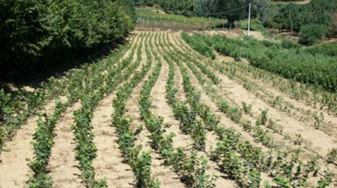 Rubate a Mongardino dal terreno di un'azienda agricola 260 piantine di nocciole