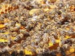 Allergia punture di api, vespe, calabroni, al via campagna informazione in Piemonte e Val d'Aosta.