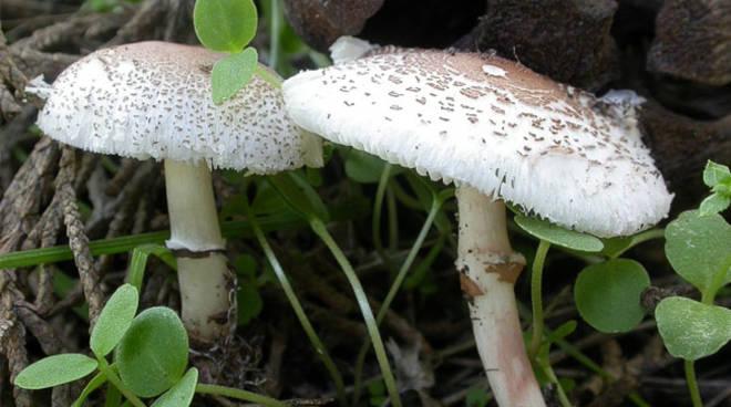 ASL AT: tornano i funghi, ripartono i controlli degli esperti micologici