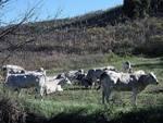 Cresce l'attenzione del mercato per i valori nutritivi della carne bovina a filiera tutta piemontese