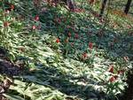 A Govone arriva una nuova grande edizione di Tulipani a Corte