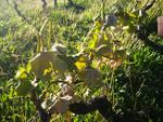 Nizza Monferrato: nelle vigne i primi conteggi delle recenti gelate