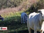 mucche