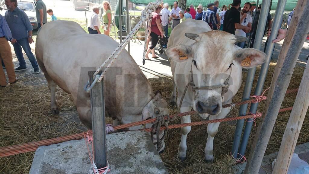 Fiera del Bestiame Calamandrana 2019
