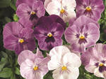 100 sfumature di viole