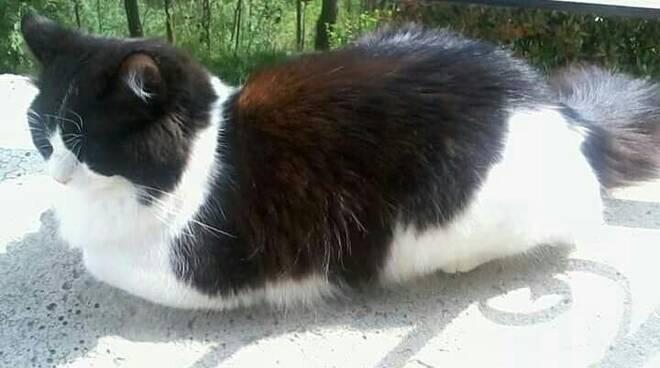 gatto batu