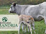 zootecnia, agrimacelleria, mucche, vitelli