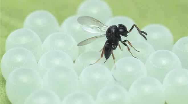 vespa samurai su larve cimice asiatica