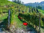 Cantina Clavesana, al via la vendemmia nelle vigne dei 200 soci viticoltori