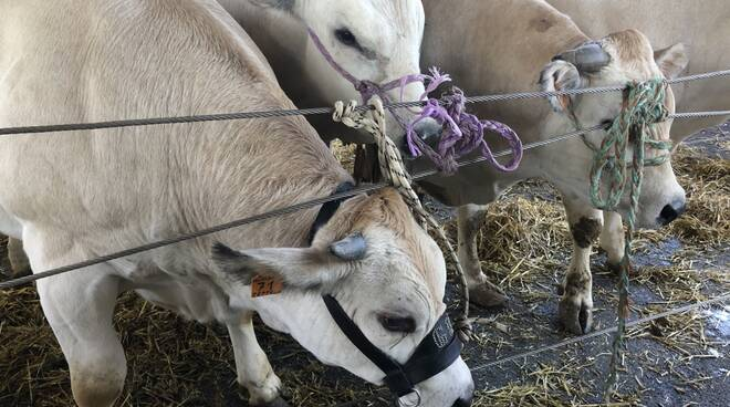 rassegna di bovini piemontesi