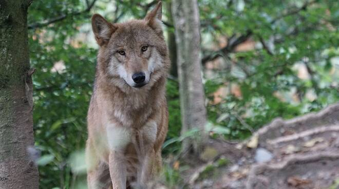 lupo lupi Foto di Marcel Langthim da Pixabay