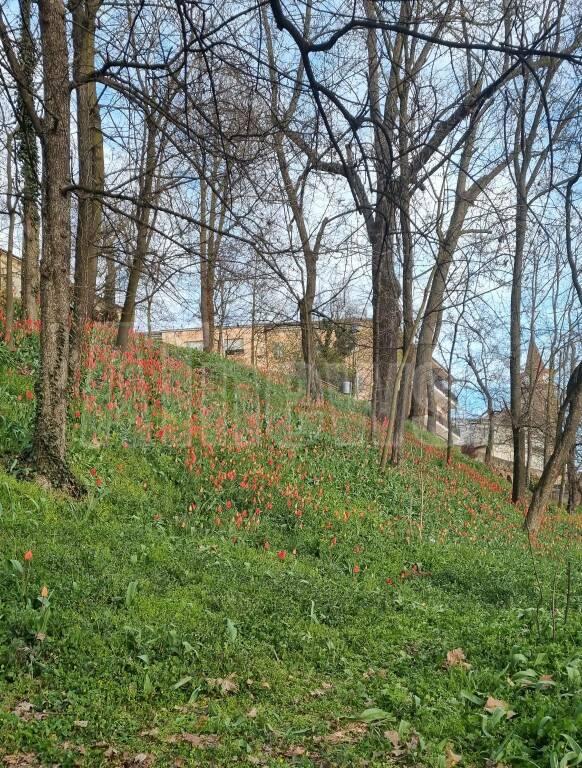 tulipani govone 2021