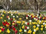 Alba: aiuole cittadine in fiore grazie agli oltre 3.000 bulbi donati da Messer Tulipano di Pralormo
