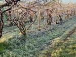 danni gelate aprile foto confagricoltura piemonte