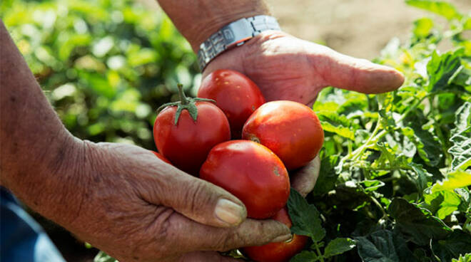 tomato revolution altromercato