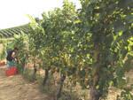 vendemmia pinot e chardonnay