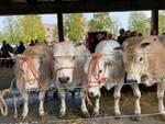 Grande rassegna di bovini piemontesi 2021 alba